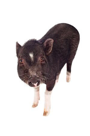 potbellied: A young female pig looking forward  Stock Photo