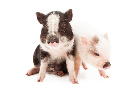piglets: Black and a white color piglets sitting together against a white background Stock Photo