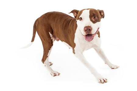 bull terrier: A happy and playful Pit Bull dog looking at the camera with a smile Stock Photo