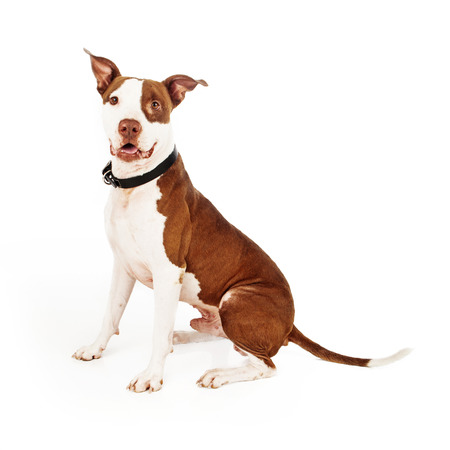 A beautiful male Pit Bull with a happy expression sitting against a white background photo
