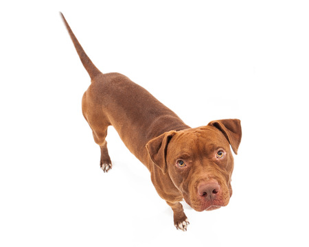 Pit Bull dog with red coat looking up white standing against a white background.