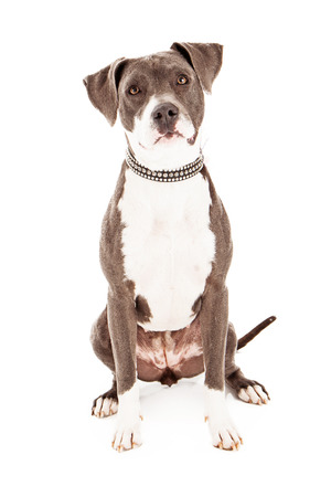american staffordshire terrier: A beautiful mixed breed dog that is mainly Pit Bull sitting against a white background with a sad look