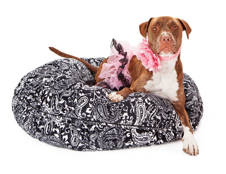 black and white pit bull: A beautiful brindle female Pit Bull dog wearing a pink tutu and flower collar laying on a black and white paisley bed against a white background