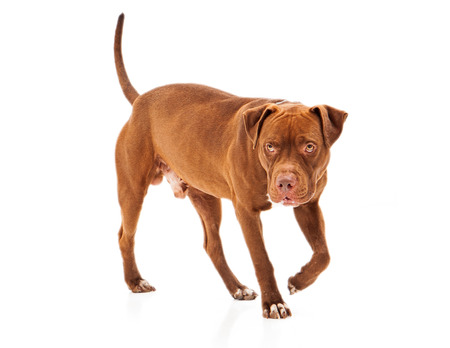 Pit Bull in a protective stance walking against a white background photo