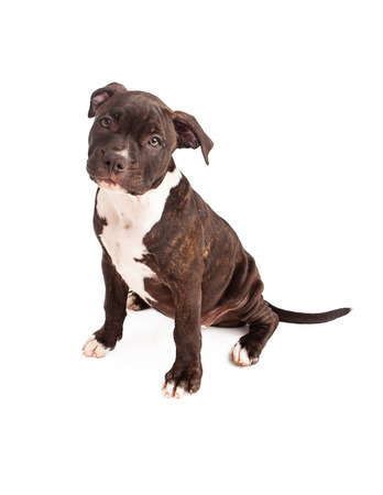 bull terrier: A cute ten week old black and white bridle Pit Bull puppy sitting against a white background and looking at the camera.
