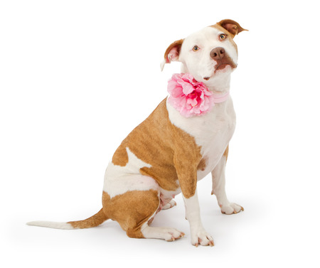 american staffordshire terrier: A beautiful American Staffordshire Terrier Pit Bull dog wearing a pink flower colar. Isolated on white.