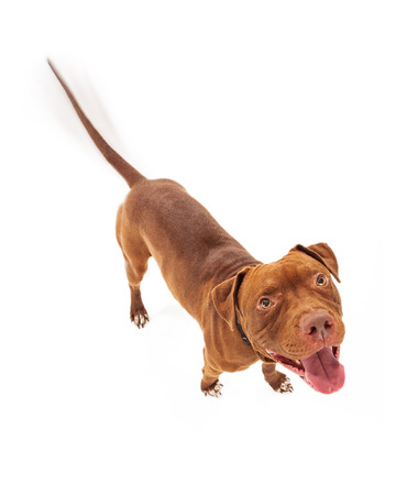 pit bull: A happy red Pit Bull dog with intentional motion blur showing his tail wagging as he is looking up with a smile