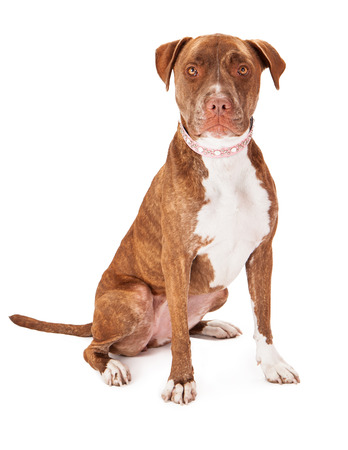 A pretty female Pit Bull dog wearing a pink collar sitting against a white background