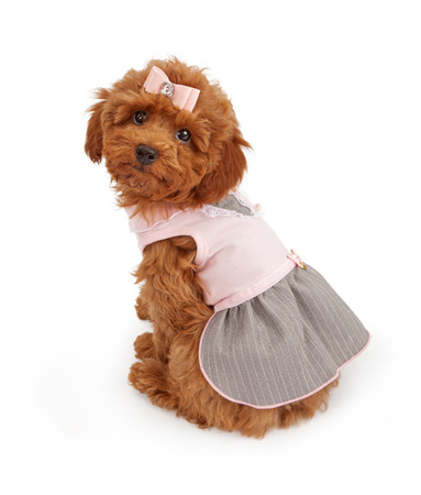An adorable Poodle puppy wearing a pink dress white sitting against a white backdrop and looking over her shoulder