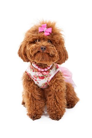 Un pequeño perro poodle rojo que llevaba un traje de color rosa y los collares de perlas y diamantes de imitación que se sienta contra un fondo blanco