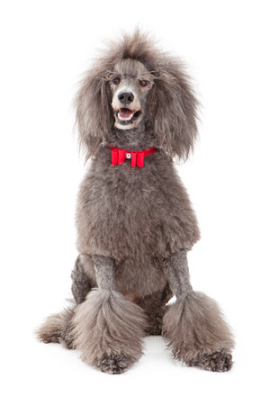 A large male gray standard poodle wearing a red christmas bow tie standing against a white background Stok Fotoğraf
