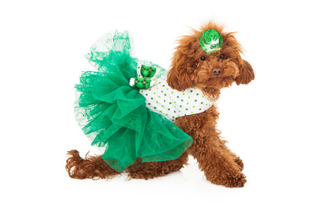 animal st  patricks day: A red miniature poodle weearing a green dress with shamrocks on it and a hat