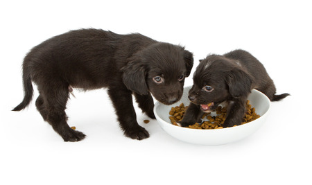 kibble: Two small balck puppies fighting for a bowl of kibble food.