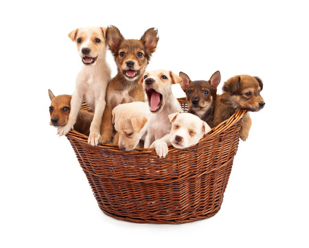 litter: A litter of eight week old mixed breed puppies in a wicker basket isolated against a white backdrop