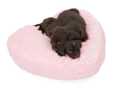 snuggling: Two six week old puppies snuggling and sleeping on a heart shaped pink pillow.