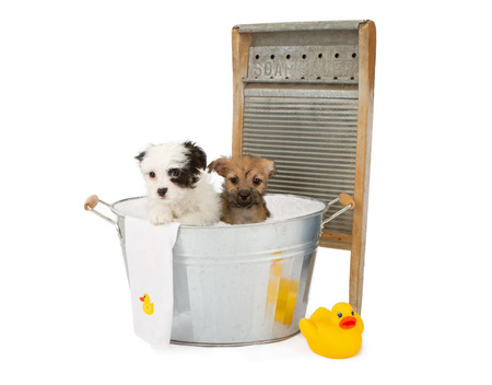 Two cute eight week old puppies in an old galvanized tub with bubbles, a rubber duckie, a towel and an old fashioned washer