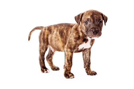 brindle: A cute eight week old puppy with brindle coloring standing against a white background Stock Photo