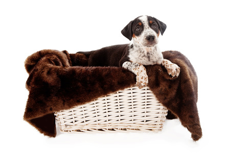 A mixed beeed eight week old puppy looking up in a basket with a fur lining isolated on white