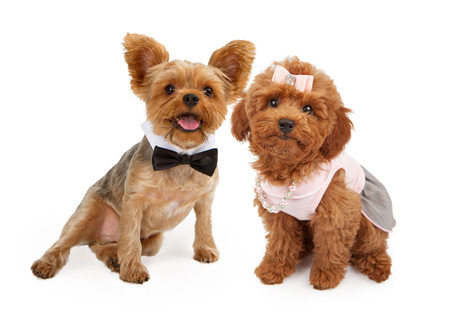 A cute young red Poodle puppy wearing a pink dress, hair bow and pearl and rhinestone necklace and an adorable Yorkshire Terrier Puppy wearing a black bow tie sitting together against a white background