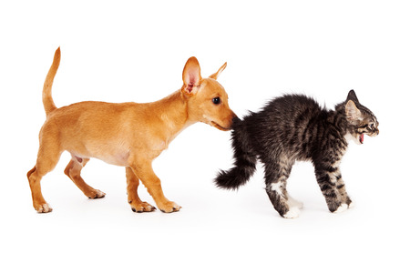 A young mixed breed yellow puppy sniffing the behind of a scared kitten that is arching her back and hissing photo