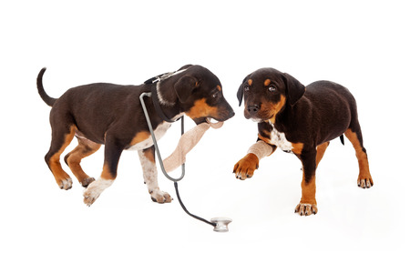 A puppy dressed as a veterinarian with a stethoscope bandaging another dogs leg. Isolated on white. photo