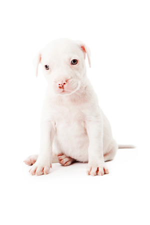 bull dog: An eight week old Pit Bull mixed breed puppy isolated on white