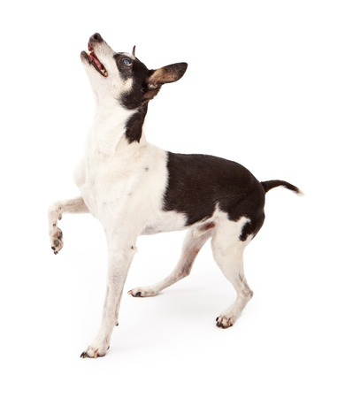 Profile of a Rat Terrier dog isolated on white with one paw up while he is looking up at a treat