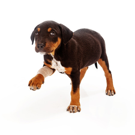 gauze: A Rottweiler mixed breed puppy with an injured leg extending his paw and looking at teh camera with a sad face Stock Photo