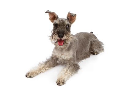 schnauzer: A gray color miniature Schnauzer dog laying down against a white backdrop