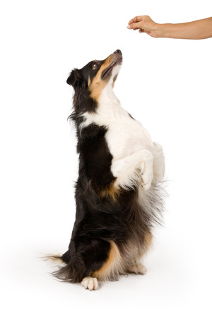 Shepherd mix dog on hind legs begging for a treat that is in his owner's hand. Isolated on white. Banque d'images