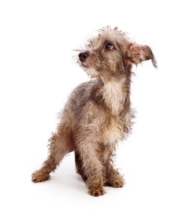 fear: Timid little scruffy mixed breed terrier rescue dog with dirty and messy fur standing against a white backdrop