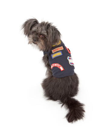 scout: A small mixed breed dog wearing a Dog Scouts outfit that is similar to a Cub or Boy Scout vest Stock Photo