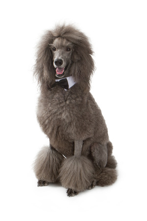 Gray standard Poodle dog sitting on a white background