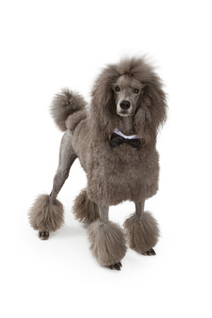 Beautiful large standard Poodle dog wearing a black bow tie standing on a white background photo