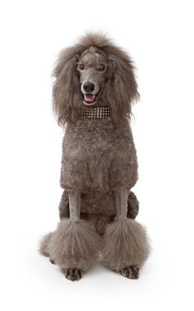 デザイナー身に着けている白い背景の上に座って大人の標準プードル犬は首輪をちりばめた。 写真素材