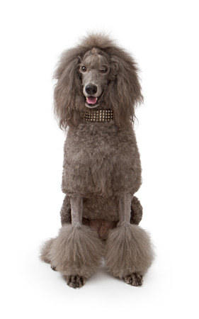 An adult standard Poodle dog sitting down on a white background wearing a designer studded collar.
