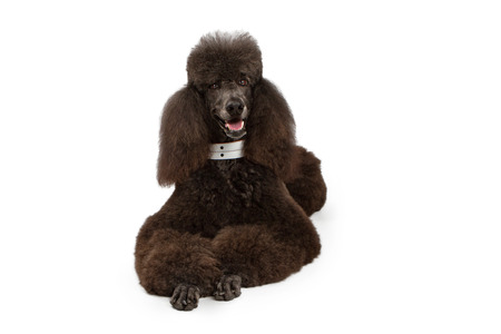 A large black standard Poodle dog laying down on a white background