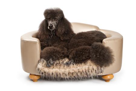designer: A large black standard Poodle dog laying down on beautiful designer bed.