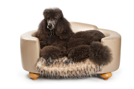 A large black standard Poodle dog laying down on beautiful designer bed.
