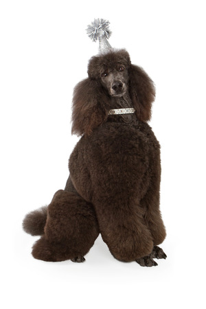 A large black standard Poodle wearing a silver birthday party hat and sitting against a white backdrop