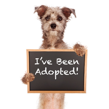 A cute Cairn Terrier mixed breed dog holding a chalk board sign announcing that he has been adopted  Imagens