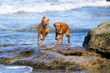 west coast: Two large Golden Retriever dogs running on the beach over some large rocks