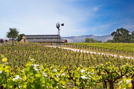 not ready: A beautiful vineyard with rows of plants that are not ready  for harvest yet