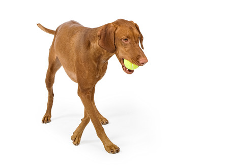A Vizsla dog walking with a tennis ball in her mouth and isolated on white photo