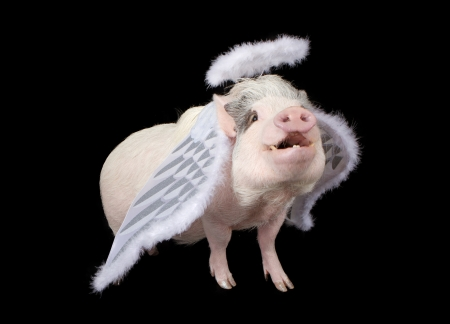 A pot bellied pig isolated on black wearing angel wings and a halo