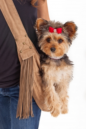 lap of luxury: A spolied small Yorkshire Terrier dog sitting in a suede carrier that is being worn by a woman that is standing against a white backdrop