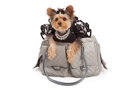 회색 고급 여행 캐리어에 앉아 검은 스커트 모조 다이아몬드 목걸이를 착용하는 버릇 요크셔 테리어 개. 흰색 배경에 대해 격리
