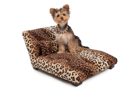 lap of luxury: A cute Yorkshire Terrier dog wearing a necklace and bow that is sitting on a designer leopard print chaise lounge bed that is sitting  against a white backdrop Stock Photo