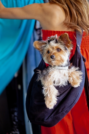 A pampered Yorkshire Terrier dog wearing a designer rhinestone collar and hair bow siting in a sling carrier being worn by a woman that is out shopping at a pet-friendly clothing store photo