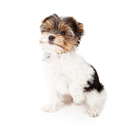 yorky: An eight week old Yorkshire Terrier puppy sitting against a white backdrop with a paw up